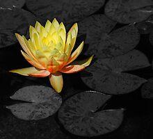 Yellow Water Lily #2 by Jennifer Hulbert-Hortman