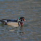 The Wood Duck by Dlouise