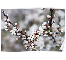 Beautiful blackthorn blossom Poster