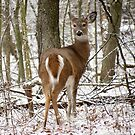 Winter Whitetail by Veronica Schultz