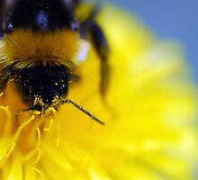 Bumblebee on a dandelion by BDomanska