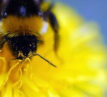 Bumblebee on a dandelion by BDomanska