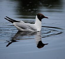 Black Headed Gull by dougie1page3