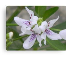 Blooming American Water Willow Canvas Print