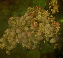 Andromeda Shrub - Pieris japonica - Lily of the Valley Bush by MotherNature