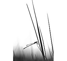 Dragon Fly- BW  Photographic Print