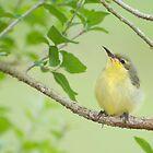 Hi Mum - baby sunbird in my garden. by Jenny Dean