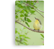 Hi Mum - baby sunbird in my garden. Canvas Print