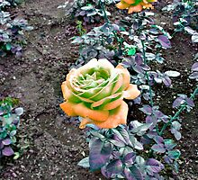 Peach and Green Rose - using HSL by Jane Neill-Hancock