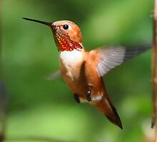 Male Rufous Hummingbird by Carl Olsen