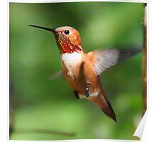 Male Rufous Hummingbird Poster