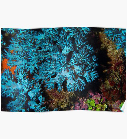 Turquois Soft Corals Poster