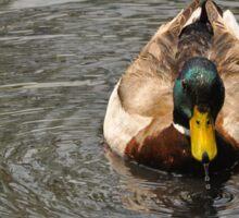 Mallard Duck Drake Sticker