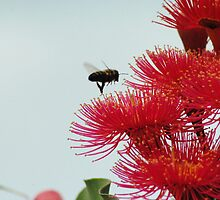 Bee flying to a Red-Flowering Gum by Heather Samsa