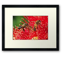 Two bees sitting on a red-flowering gum Framed Print