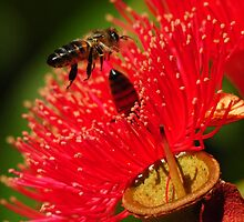 Two bees on a red-flowering gum by Heather Samsa
