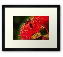 Two bees on a red-flowering gum Framed Print