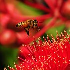 Bee flying to a Red-Flowering Gum #3 by Heather Samsa