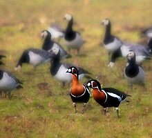 Red-breasted Geese by THHoang