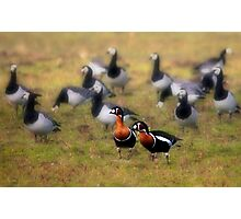 Red-breasted Geese Photographic Print