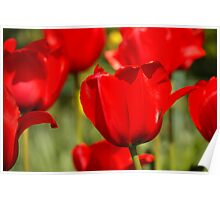tulips red Poster