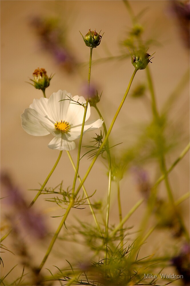 Cosmea .. by Mike  Waldron