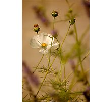Cosmea .. Photographic Print