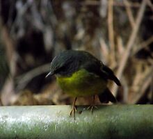 Eastern Yellow Robin by SophiaDeLuna