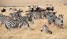 Zebra & Wildebeest Migration by Carole-Anne