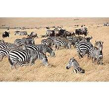 Zebra & Wildebeest Migration Photographic Print