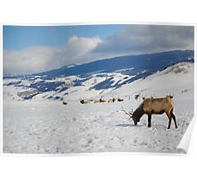 Deer Stags in the snow Poster