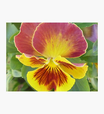 yellow and red pansy Photographic Print