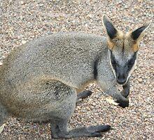 Cute wallaby by K9angel11
