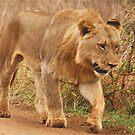 WISDOM - THE LION - panthera leo - Leeu by Magaret Meintjes