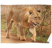 WISDOM - THE LION - panthera leo - Leeu Poster