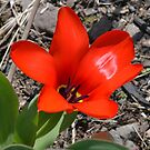First Tulip by Imagery