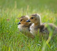 Goslings by BrianDawson