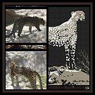 CHEETAH-DO READ THE LIFE STORY OF THIS CHEETAH dedicated to endangered animal by Sherri Palm Springs  Nicholas
