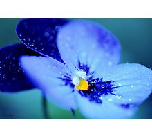 Pansy Blues Photographic Print