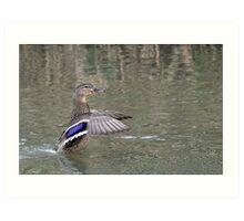 duck in water Art Print