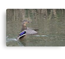 duck in water Canvas Print