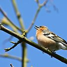 Chaffy sings his heart out! by avocet