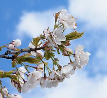 Blossom and Blue Sky by ElsT