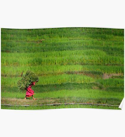 Woman Harvesting Crops near Bhaktapur Poster