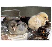 Five Young Chicks Poster