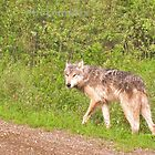 Northwest wolf by Erika Price