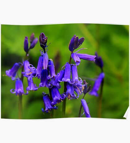 English Bluebells : Hyacinthoides Non-Scripta. Low Coniscliffe, England Poster