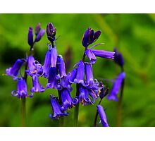 English Bluebells : Hyacinthoides Non-Scripta. Low Coniscliffe, England Photographic Print