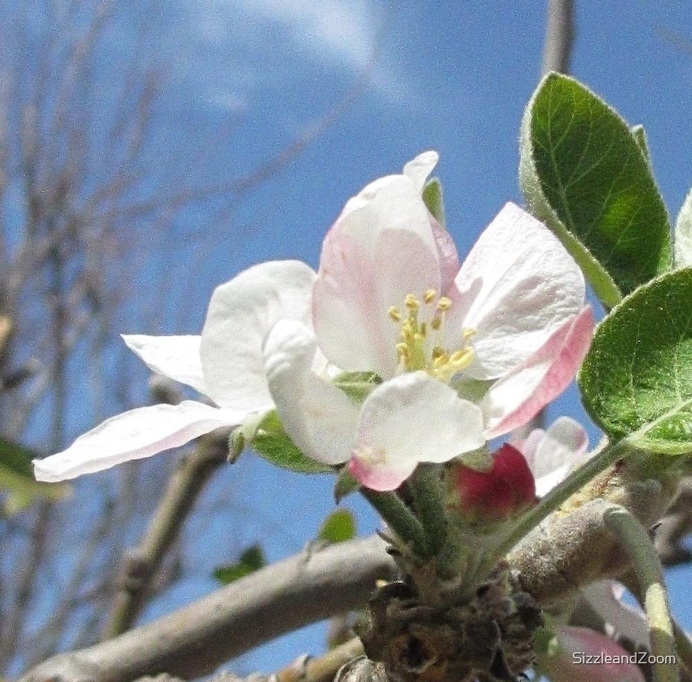 Apple Tree Blossom by SizzleandZoom