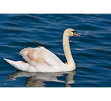 swan in peace Photographic Print